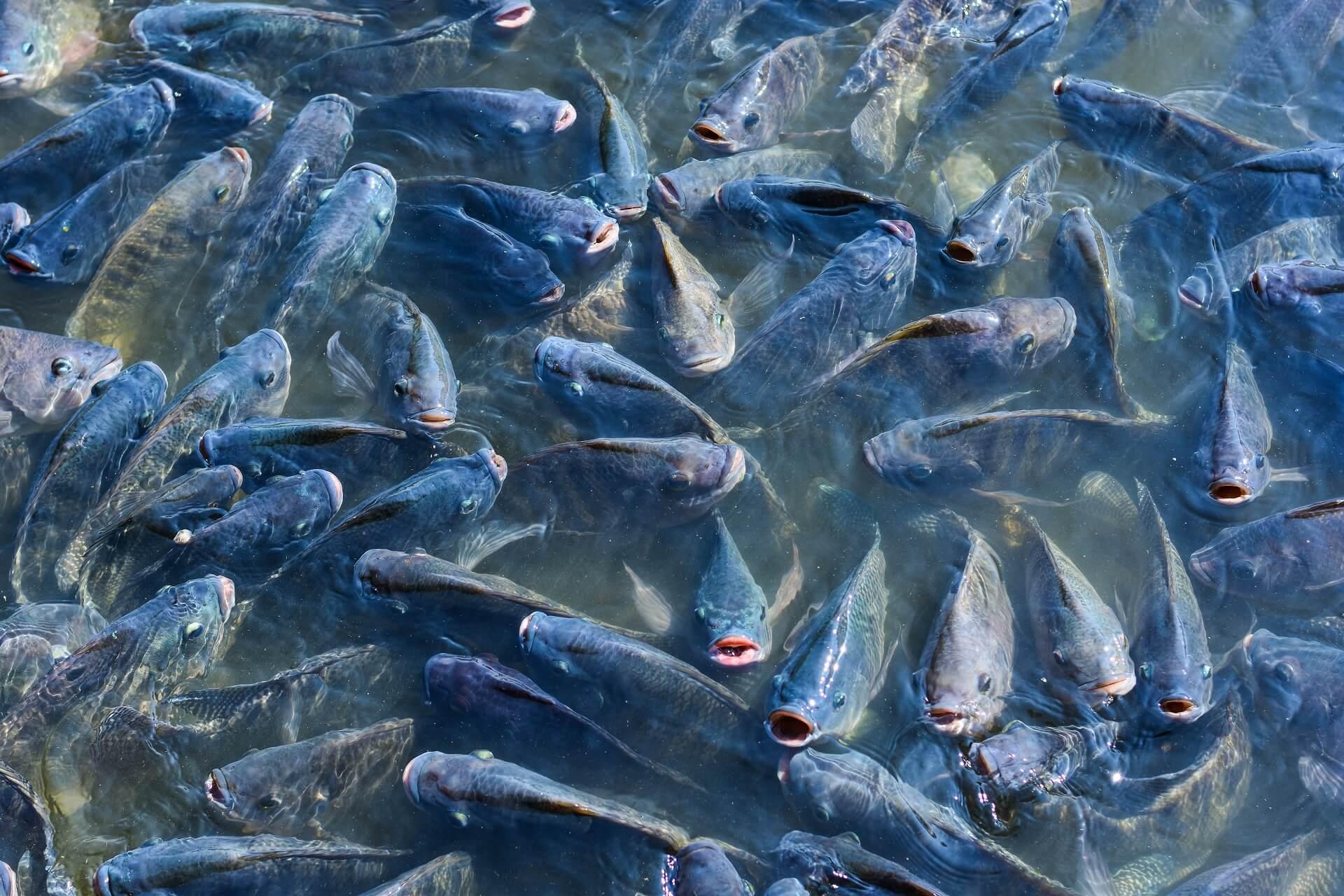 Aqua - Fish