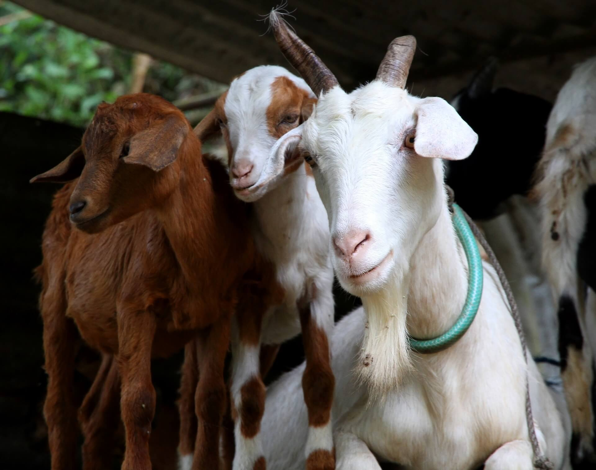 Ruminant - Goat